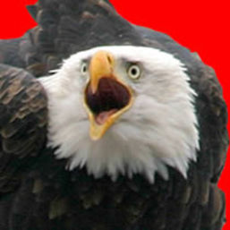 bald_eagle_profile_page
